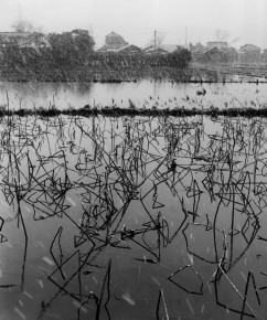 Werner Bischof – Lotus plants in winter, Kyoto, Japan,1951