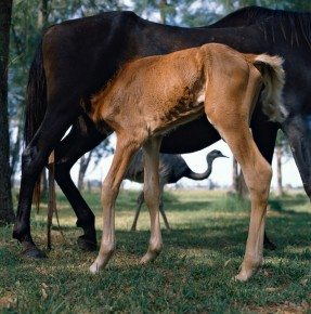 Alessandra Sanguinetti –  Mare and foal, Buenos Aires, Argentina. n.d.